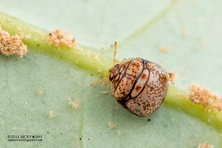 Globular shield bug (Plataspidae) - DSC_6137