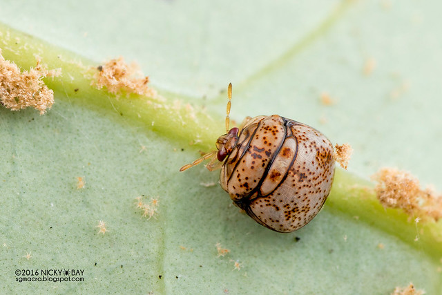Globular shield bug (Plataspidae) - DSC_6137