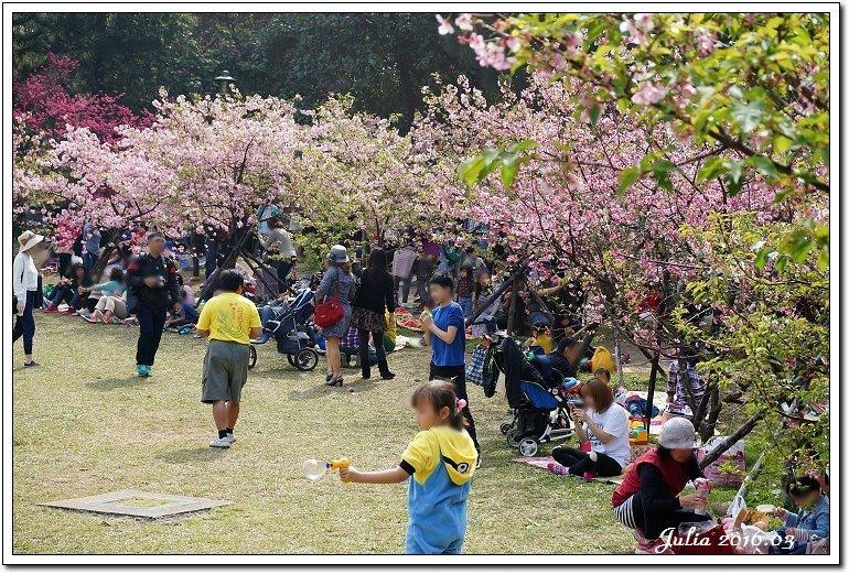 麗池公園河津櫻 (23)