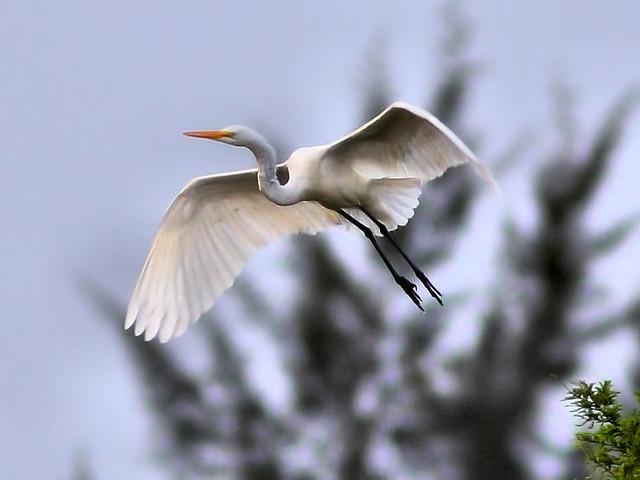 Great Egret in-flight HDR 01-20160313