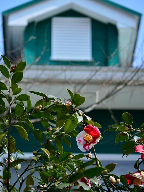 ツバキ Camellia -ツキノワ(月の輪)