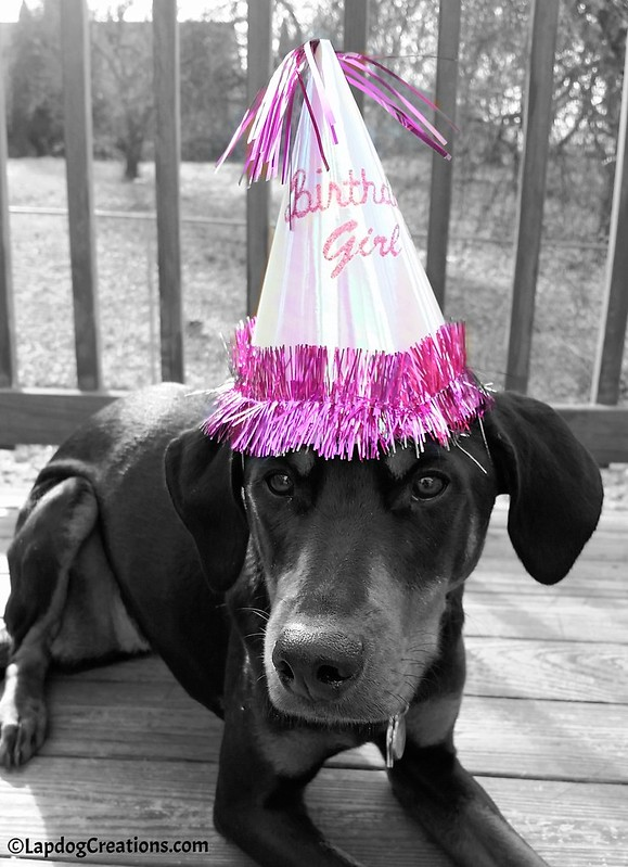 It's Penny's FIRST Birthday! #dobermanpuppy #rescueddog #adoptdontshop #dogbirthday #LapdogCreations ©LapdogCreations