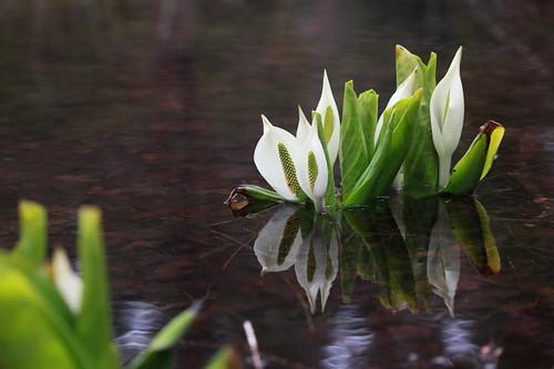 早春の白い妖精