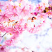 sakura '16 - cherry blossoms #3 (Sanjo Bridge, Kyoto) by Marser