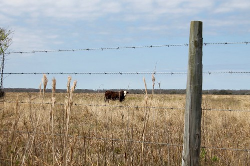 field fence cow wire texas pasture barbed bovine