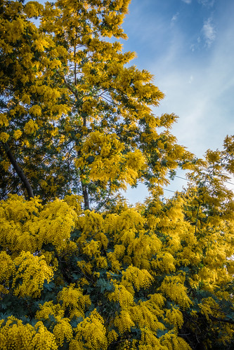 california ca blue sky plant flower color tree green nature floral beautiful beauty yellow closeup garden landscape outdoors golden spring flora colorful branch natural bright blossom scenic sanjose fluffy fresh vegetation bloom blossoming pollen mimosa blooming scented acaciabaileyana goldenmimosatree