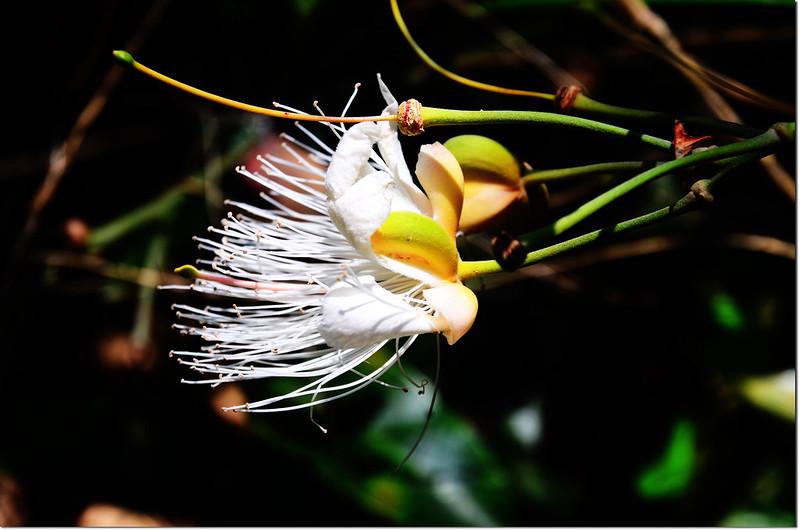 山柑(花) 2