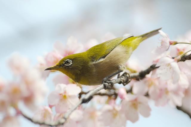 メジロ/暗绿绣眼鸟 [Zosterops japonicus]...