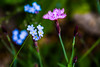 Hello Dianthus and Forget-me-not