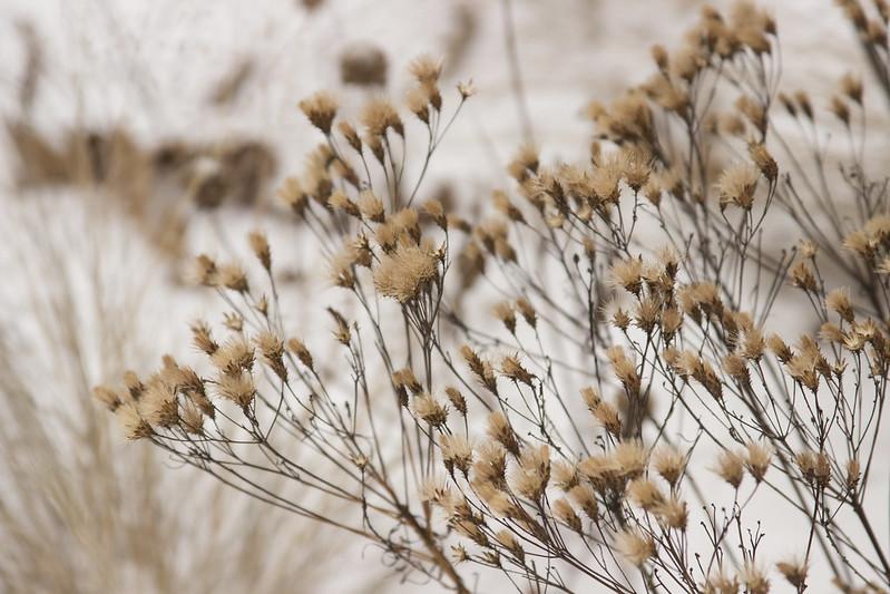 snowy vernonia 2