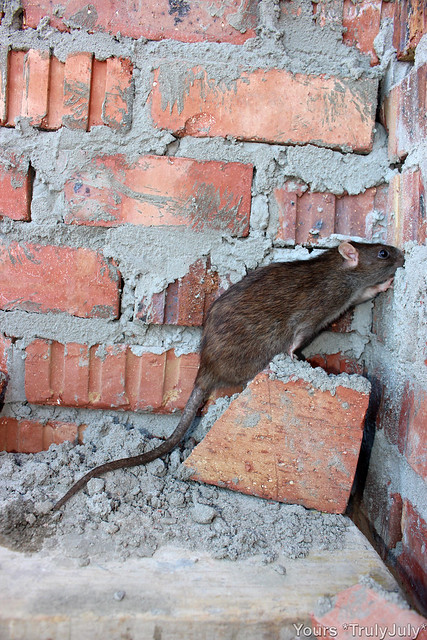 Interesting... What's on the other side? Rats are very curious!
