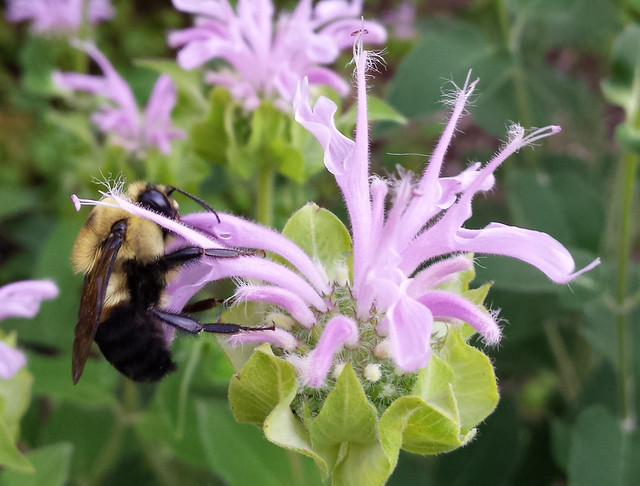 yellow on top, black on bottom, on the left side of a bee balm blossom