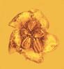 Asterid flower