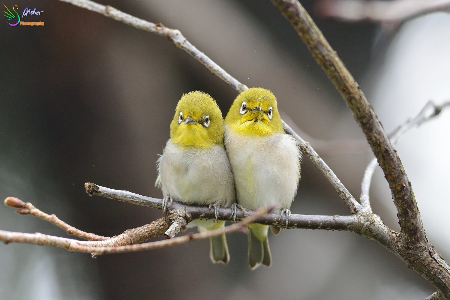 Sakura_White-eye_4682