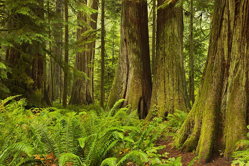 Cathedral Grove, MacMillan Provincial Park, Parksville, Vancouver Island, British Columbia, Canada