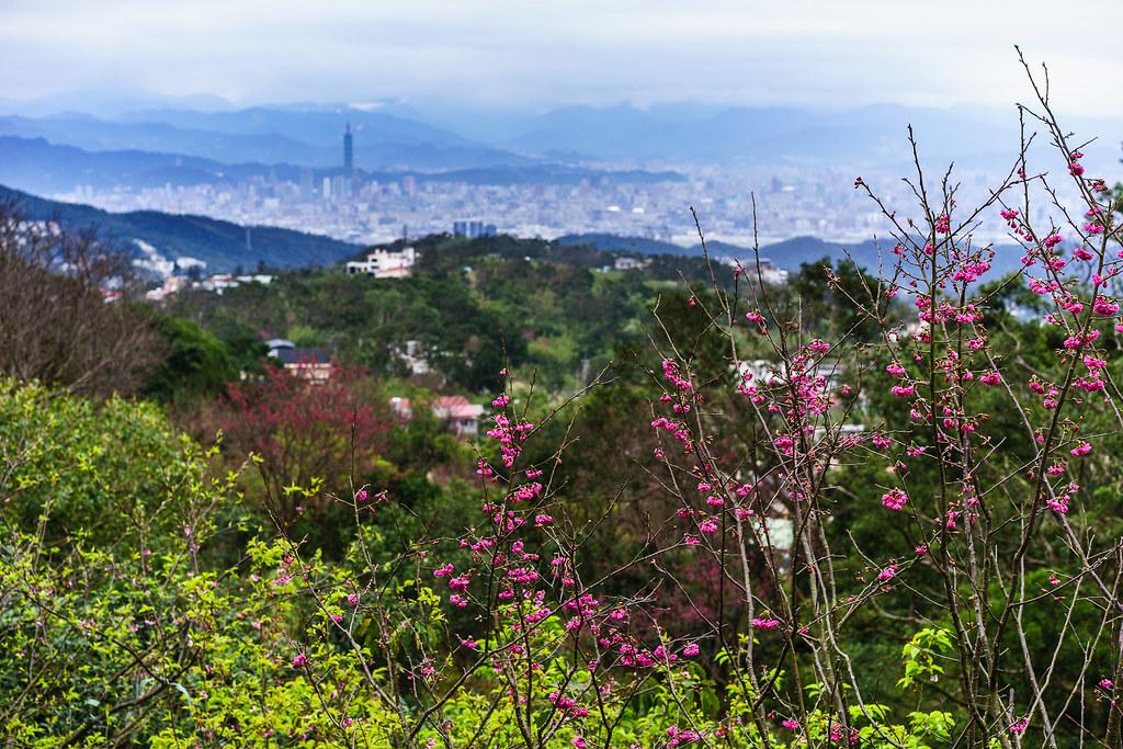 陽明山櫻花