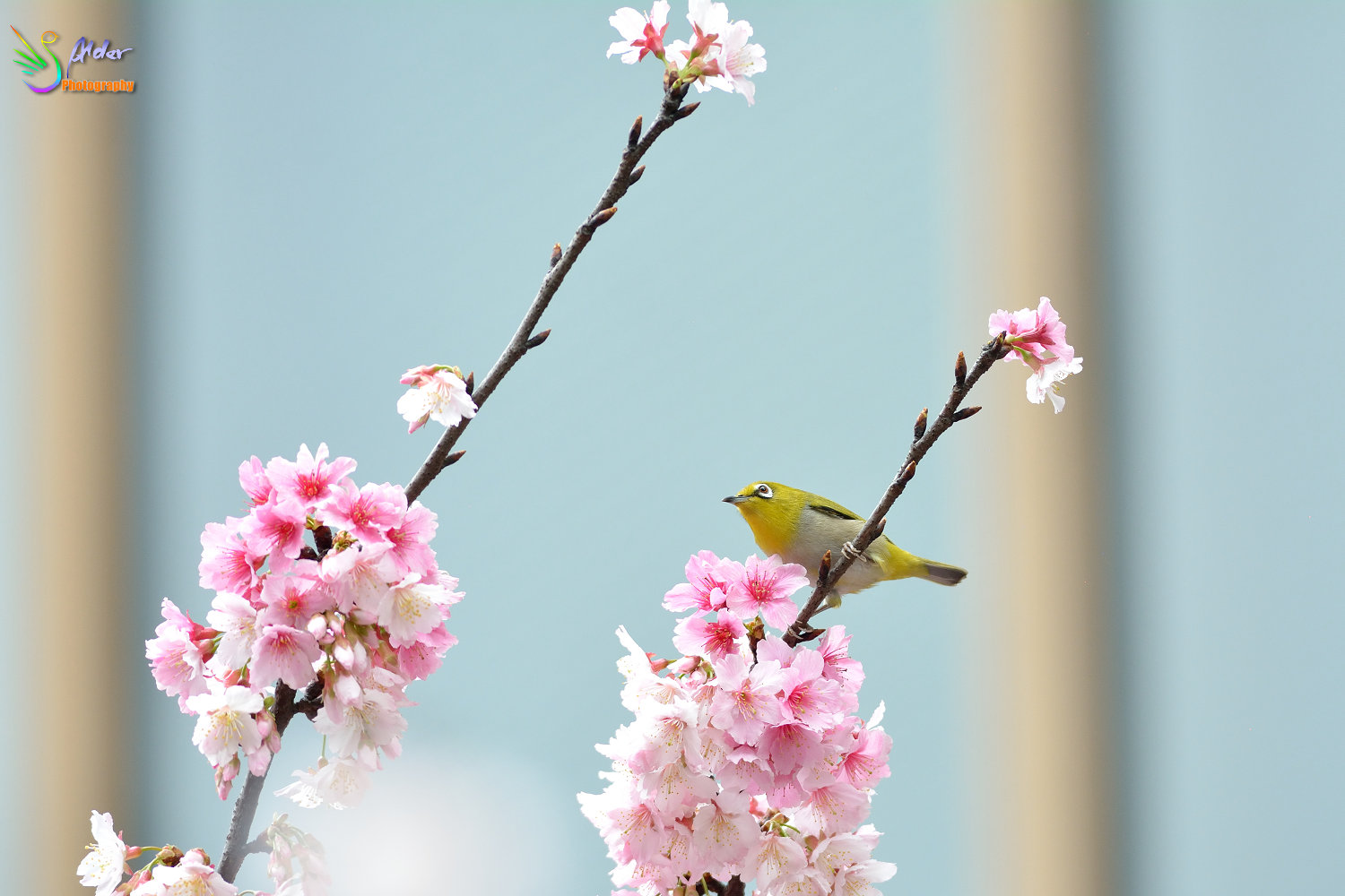 Sakura_White-eye_6400