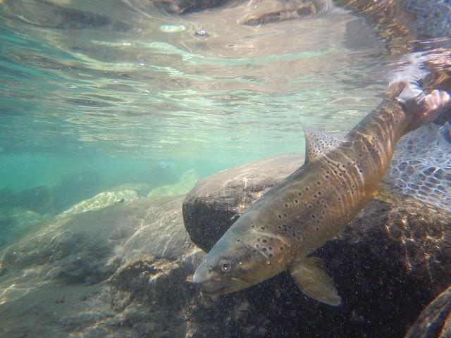 underwater release brown trout at cedar lodge