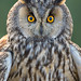 "long eared owl "" portrait "" by TARIQ HAMEED SULEMANI"