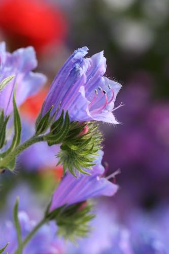Echium plantangineum