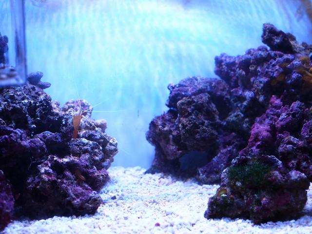 P3232222 清潔蝦