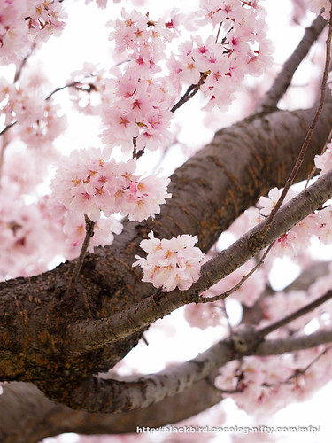 Cherry blossoms #02