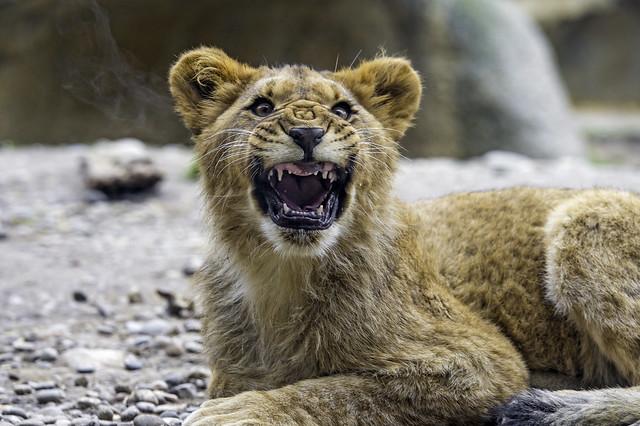 Devil lion cub! ;)