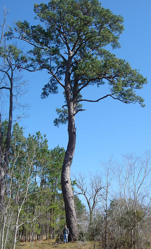 Pine Loblolly