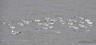 Bonaparte's Gull_N5345