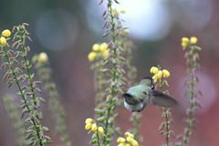 Hummingbird Butt