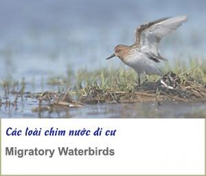 migratory water bird
