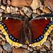 Mourning Cloak - Nymphalis antiopa (Nymphalidae, Nymphalinae, Nymphalini) 112n-3009 by Perk's images