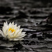 Water Lily by aotaro