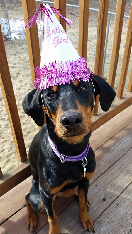 Happy First Birthday Penny! #dobermanpuppy #rescueddog #adoptdontshop #dobermanmix #LapdogCreations ©LapdogCreations