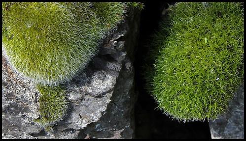 Grimmia et Tortula (2)