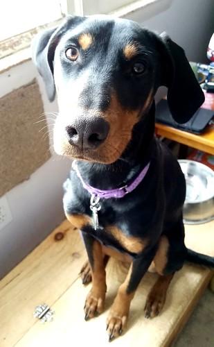 Doberman puppy knows LOOK #rescueddog #adoptdontshop #puppytraining #LapdogCreations ©LapdogCreations