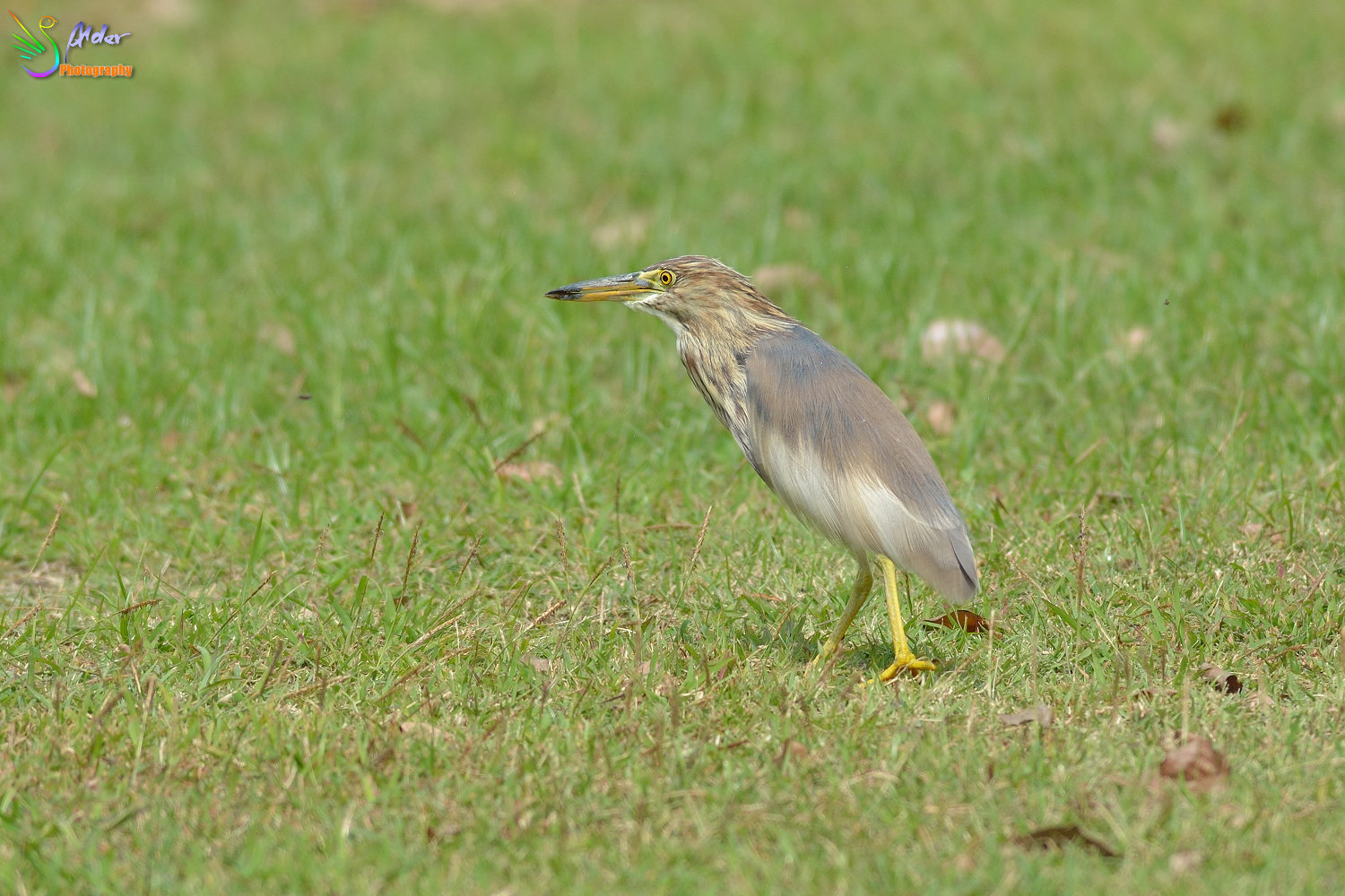 Chinese_Pond_Heron_1327
