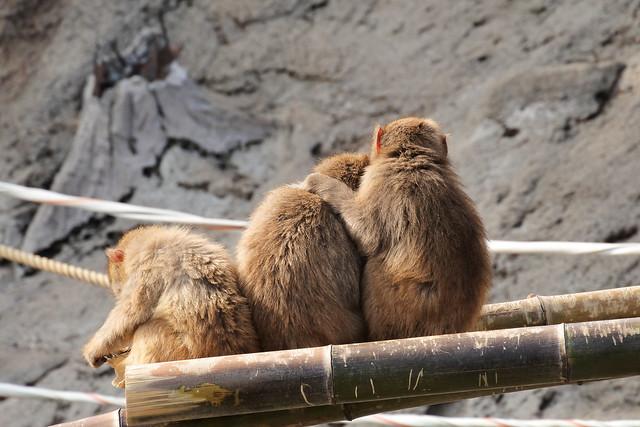 Macaca fuscata ニホンザル