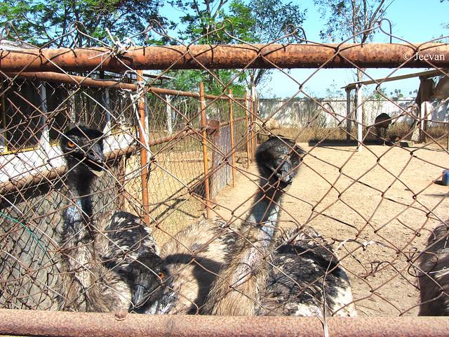 Curious Emus