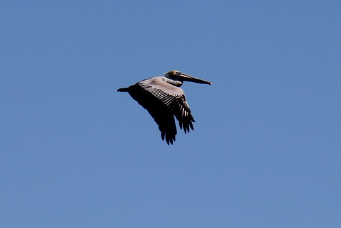 IMG_7033_Pelican_at_Howard_Beach