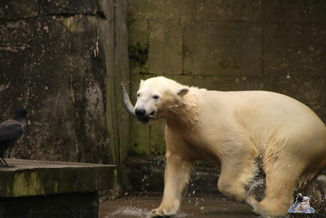 Eisbär Fiete im Zoo Rostock 12.03.2016   0179