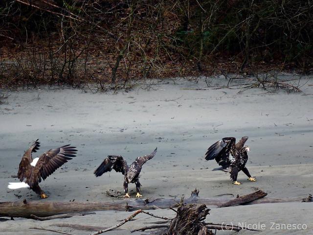 Eagles Feeding by Squamish River