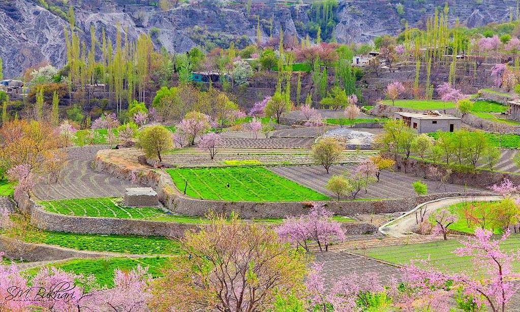 Spring Blossom At Hunza