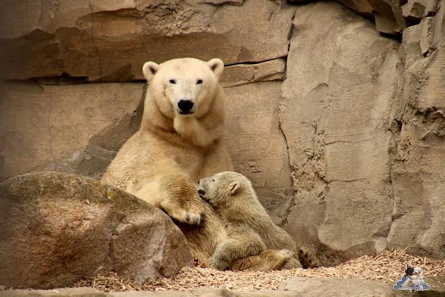Eisbär Lili im Zoo am Meer Bremerhaven 09.04.2016 Teil 2  0105