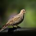 A Stitched Dove by Patricia Ware