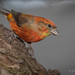 Red Crossbill by Turk Images