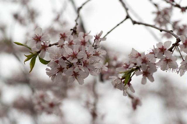 2016年4月2日お花見-20