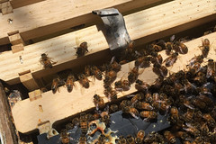 bees IMG_5750
