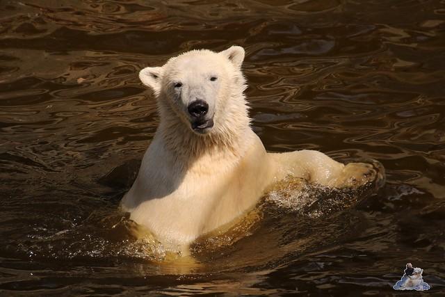 Eisbär Fiete im Zoo Rostock 16.04.2016  171