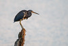 Tricolored Heron by Bill McBride Photography